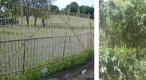 Bamboo pea and bean fence