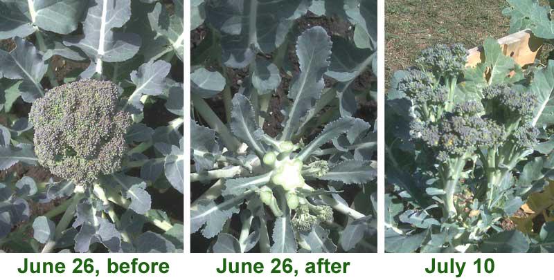 Brocolli harvest