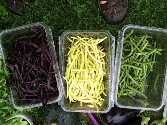 Purple, yellow, and green string beans.